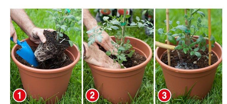 trzy doniczki z instrukcją jak sadzić pomidiory