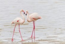 dwa flamingi w wodzie
