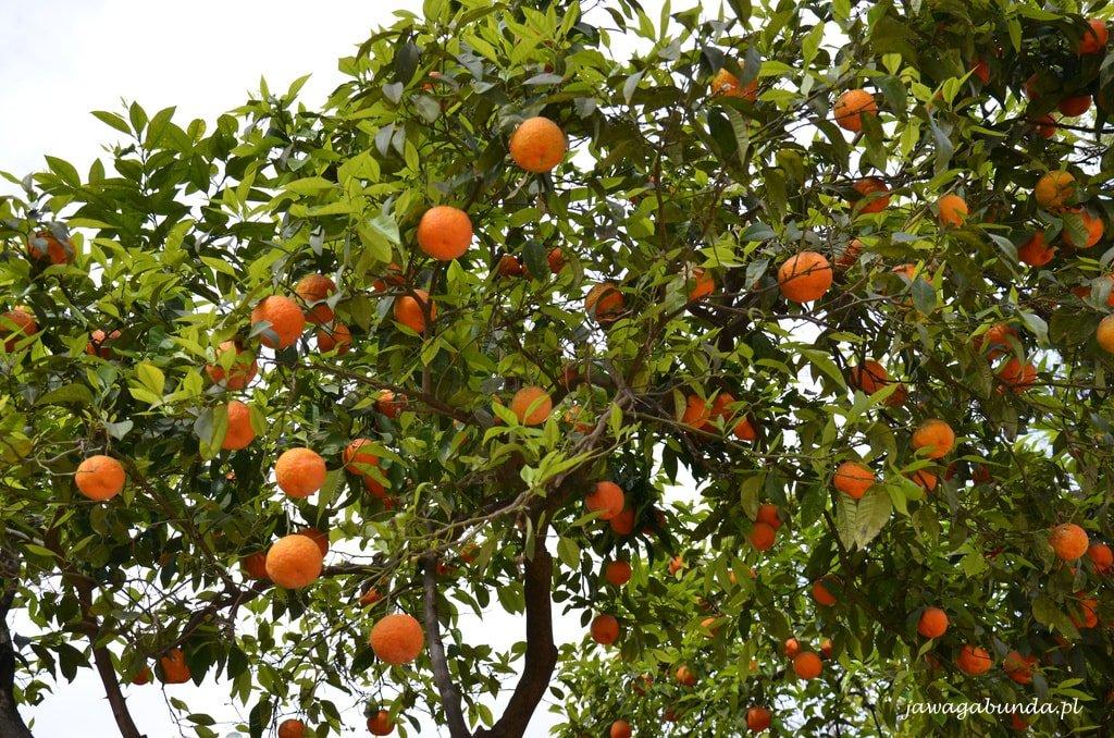 pomarańczowe drzewko