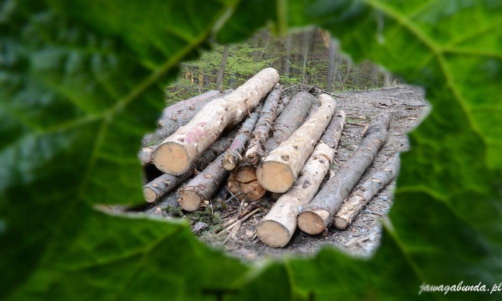 bale ściętego drzewa, zdjęcie zrobione przez listek