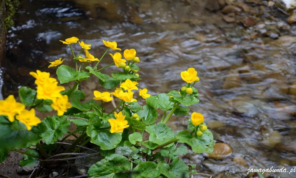 kaczeńce rosnące nad potokim