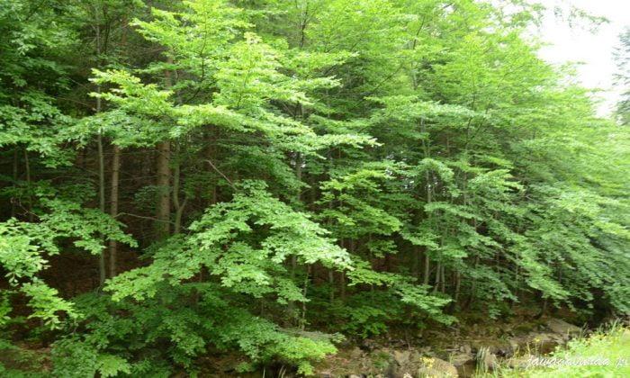 gałęzie świerka