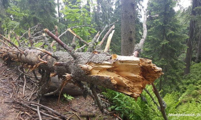 drzewo spróchniałe leżące na scieżce