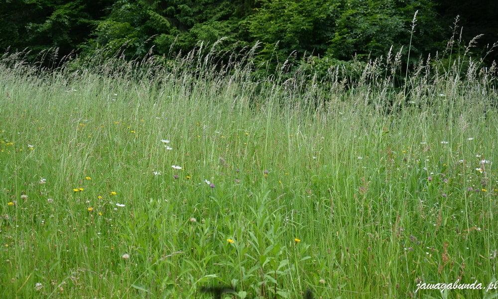 trawy na polanie wgórach