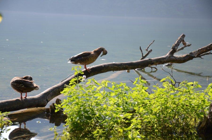 kaczki na drzewie nad wodą