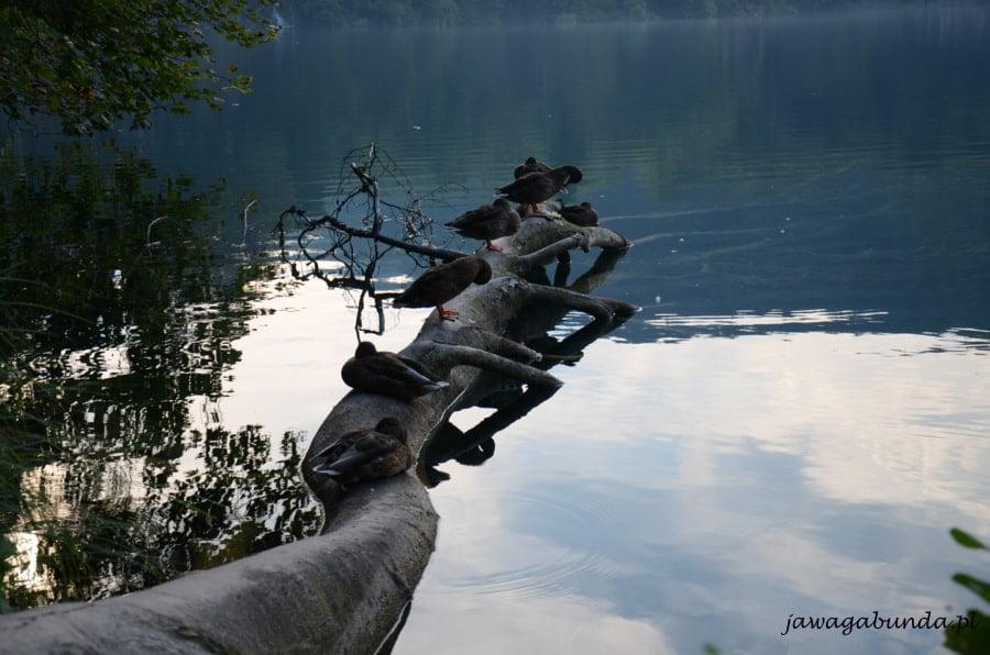 kaczki na pniu drzewa nad jeziorem
