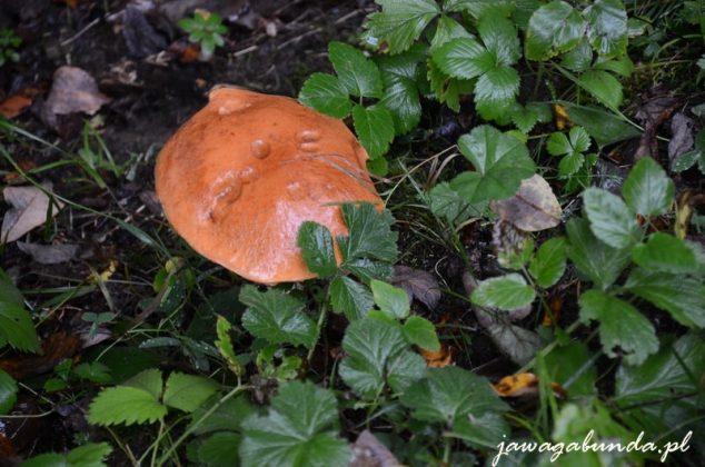 grzyb rosnący w zielonym poszyciu
