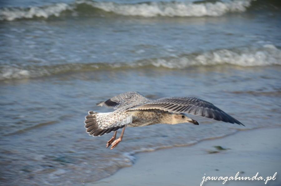 mewa lecąca nad morzem