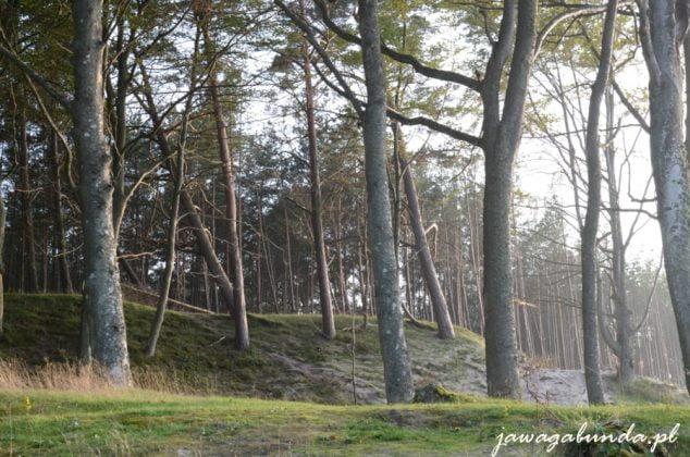 las na morenowym, górzystym terenie