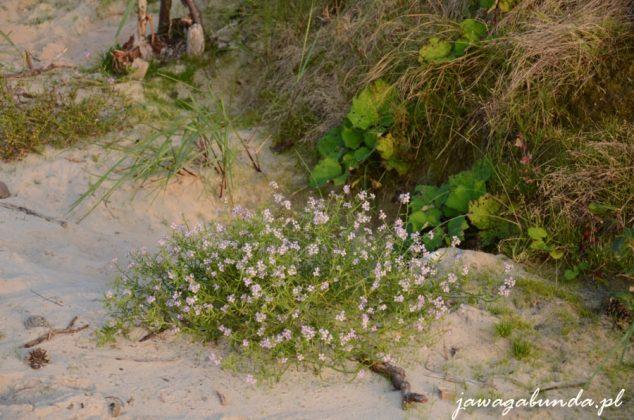 rośliny rosnące na wydmach