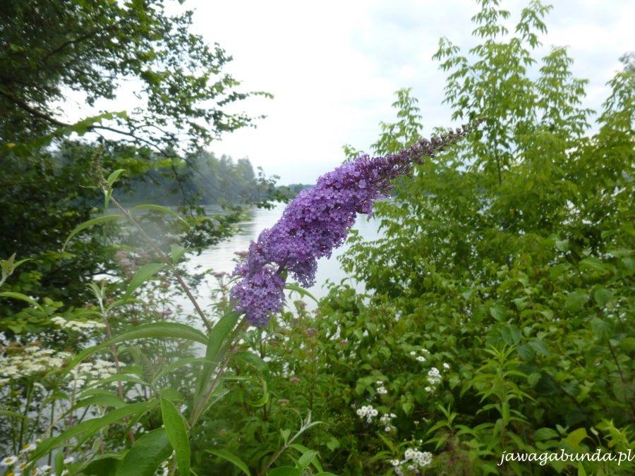 fioletowy kwiat na tle rzeki i krzaków