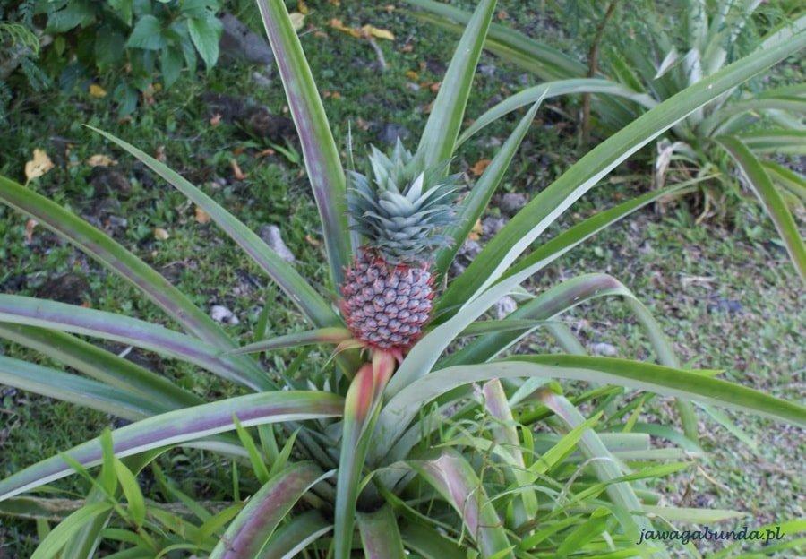 roślina ananasa na krzewie