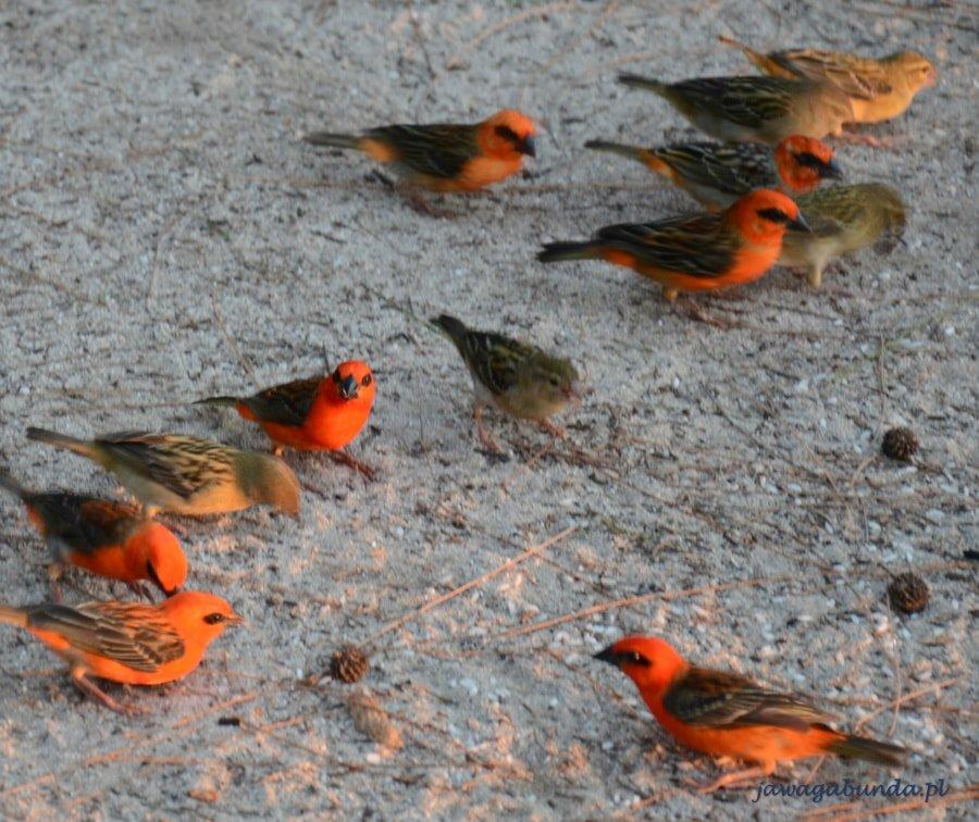 ptaszki w pomarańczowych kolorach