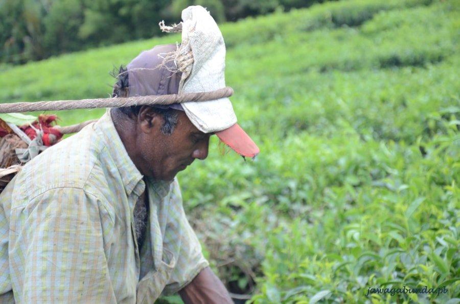 mężczyzna zbierający herbatę