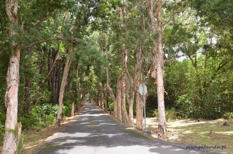 eukaliptusowa aleja z wysokich drzew