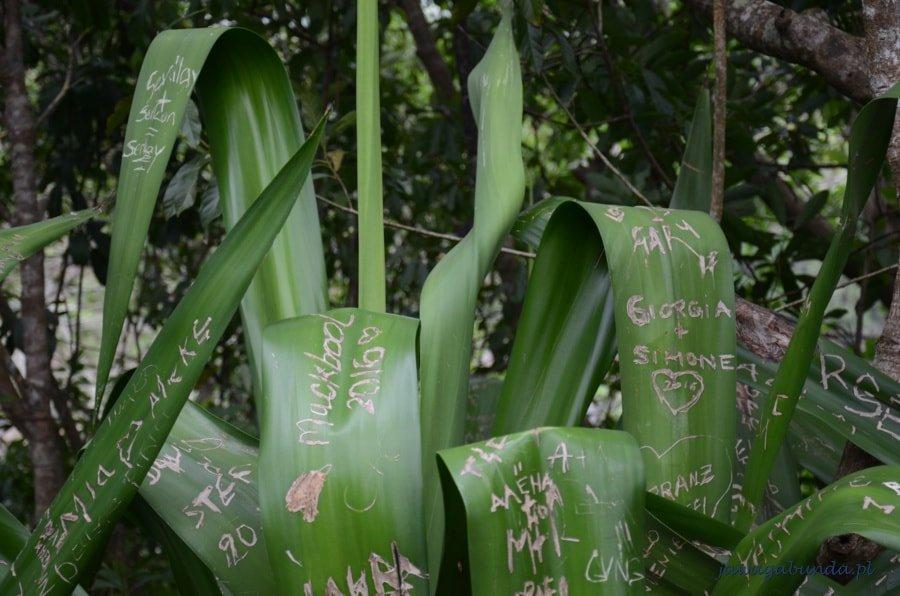 nazwy wyryte na liściach agawy