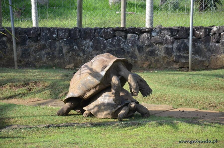 kopulujące żółwie