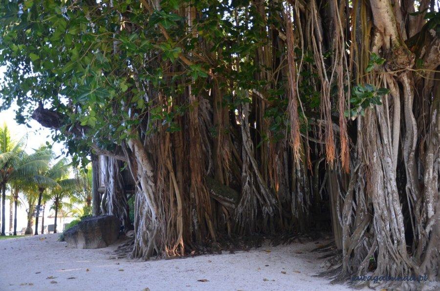 drzewo z lianami wrastającymi w ziemię