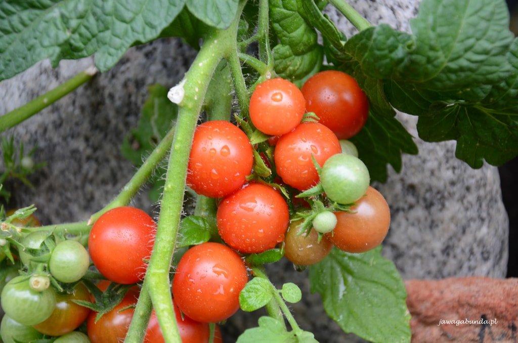 pomidor w donicy