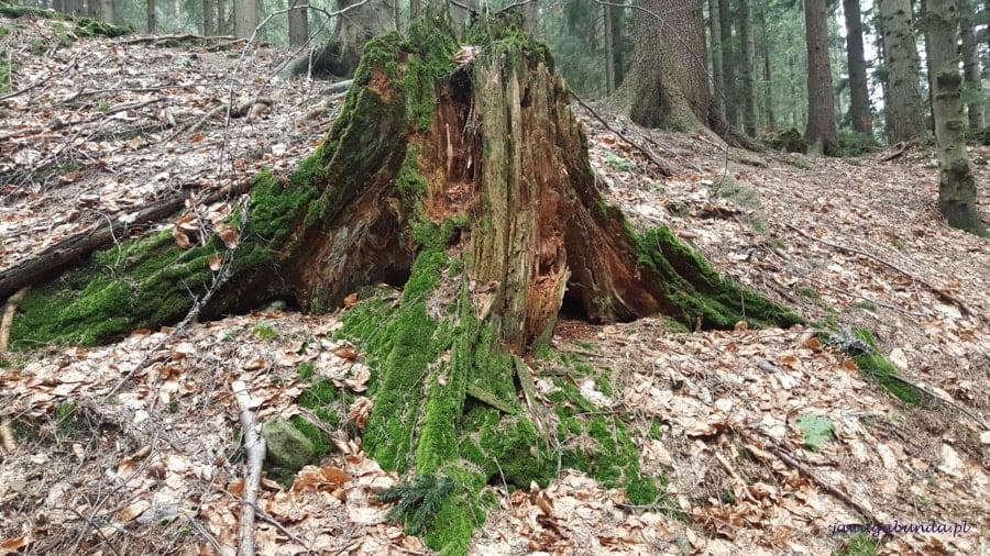 pień dużego drzewa i liście uschnięte