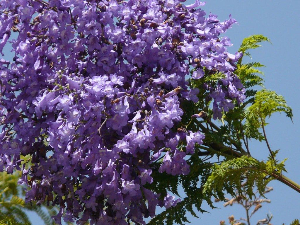 drzewo kwitnące na niebiesko