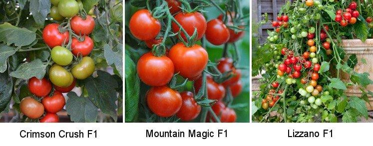 trzy rodzaje pomidorów