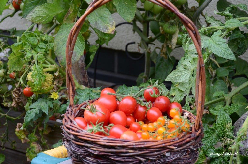 pomidor w koszyku