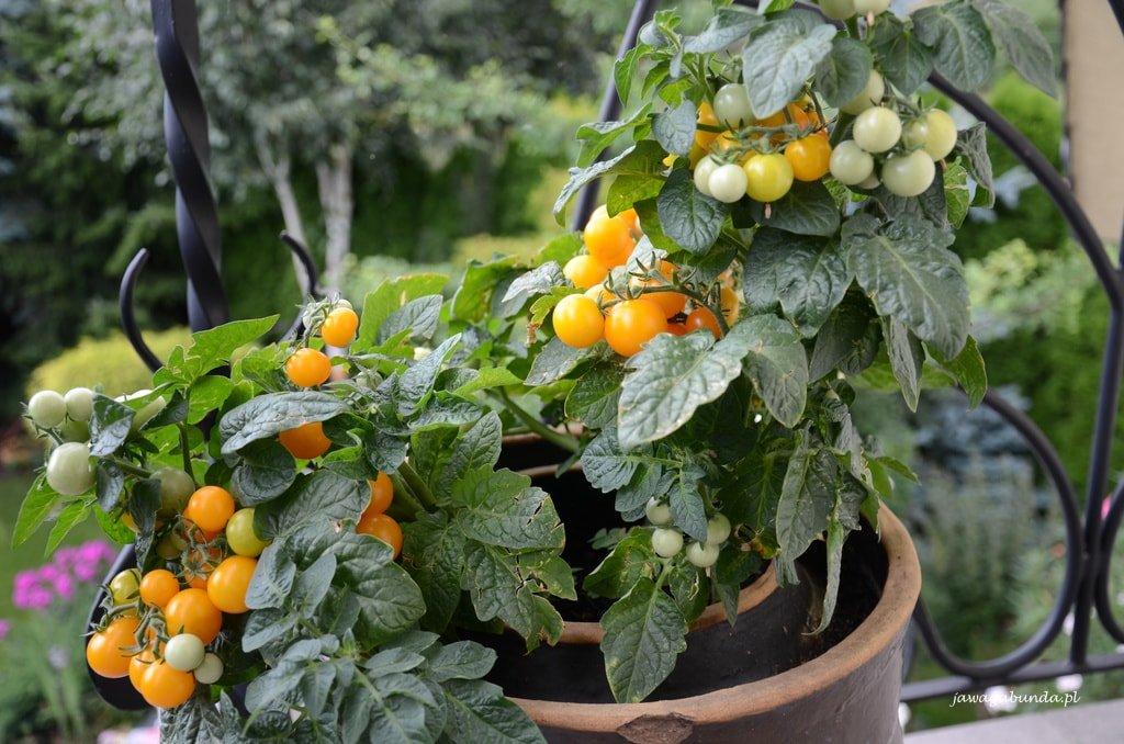 Jakie Odmiany Pomidorów Są Najlepsze Do Uprawy Doniczkowej