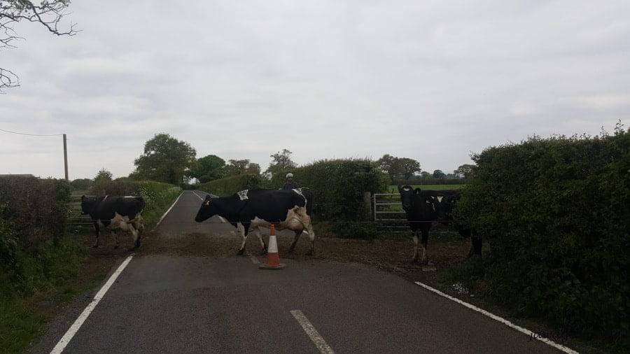 krowy przechodzą przez ulicę