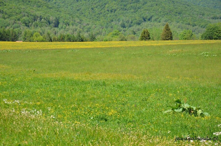 kwitnąca na żółto łąka w górach