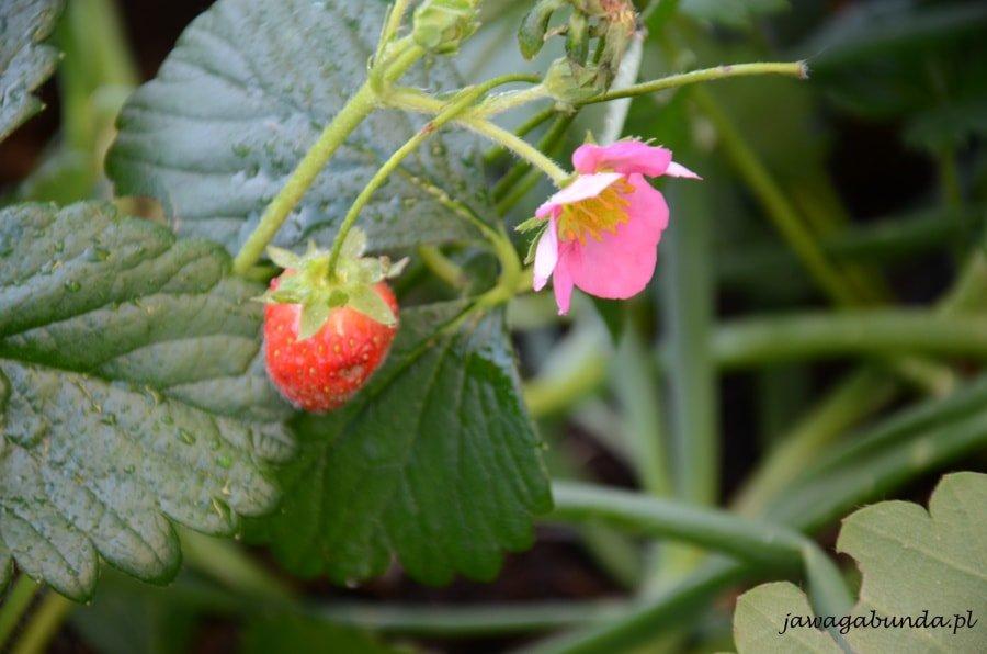 owoc truskawki i kwiat truskawki