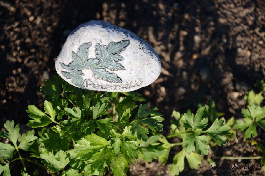 zielona pietruszka i napis po łacinie