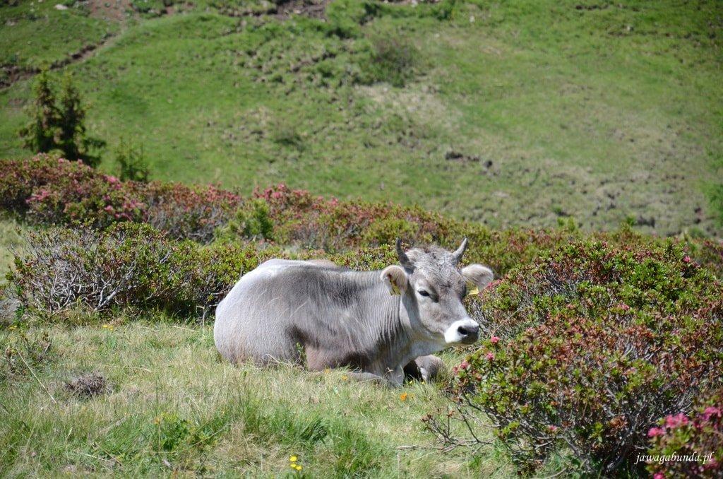 krowa leżąca wśród krzewów rododendronów