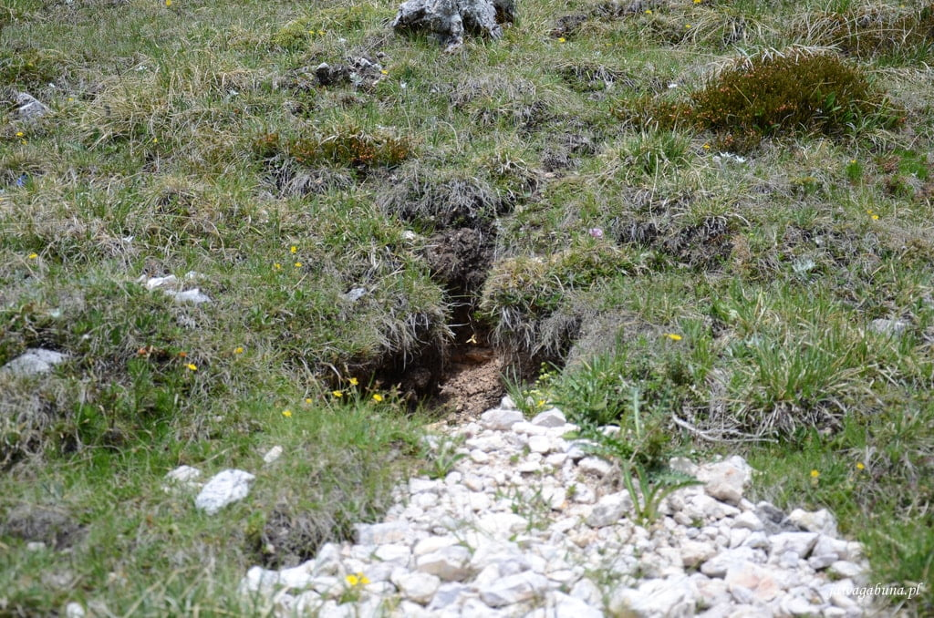 łąka i jama będąca domem marmota