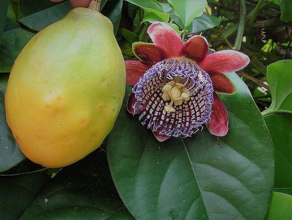 kwiat i owoc passiflory