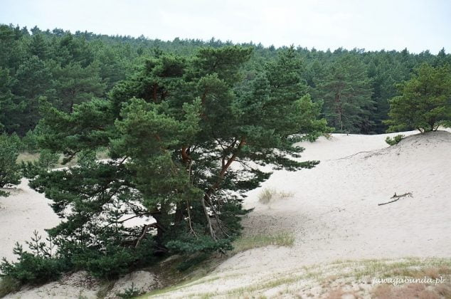 roślinność na wydmie