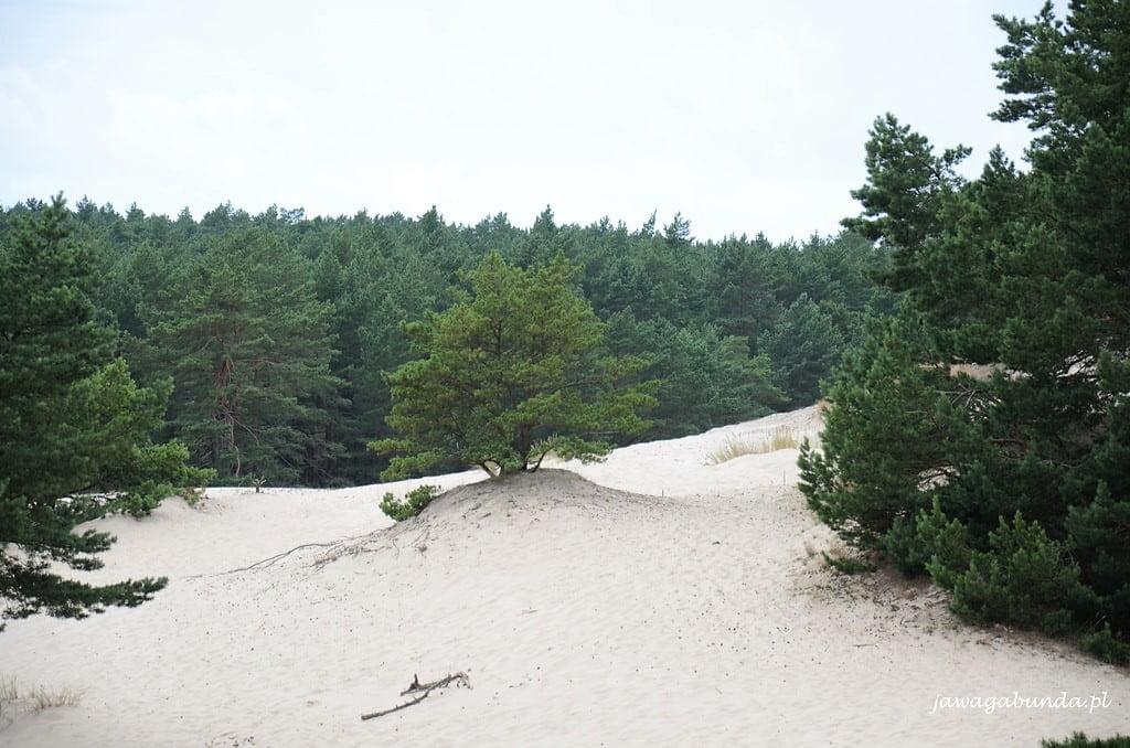 Samotna sosna na środku wydmy