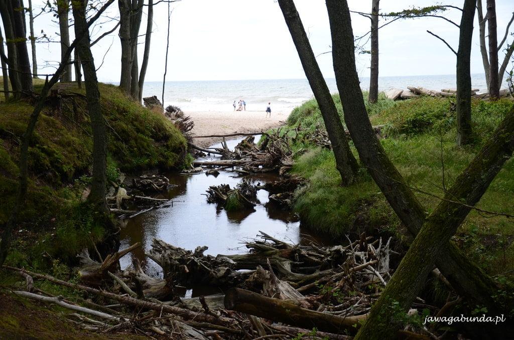 rzeka wpływa do morza, a w niej mnóstwo korzeni drzew