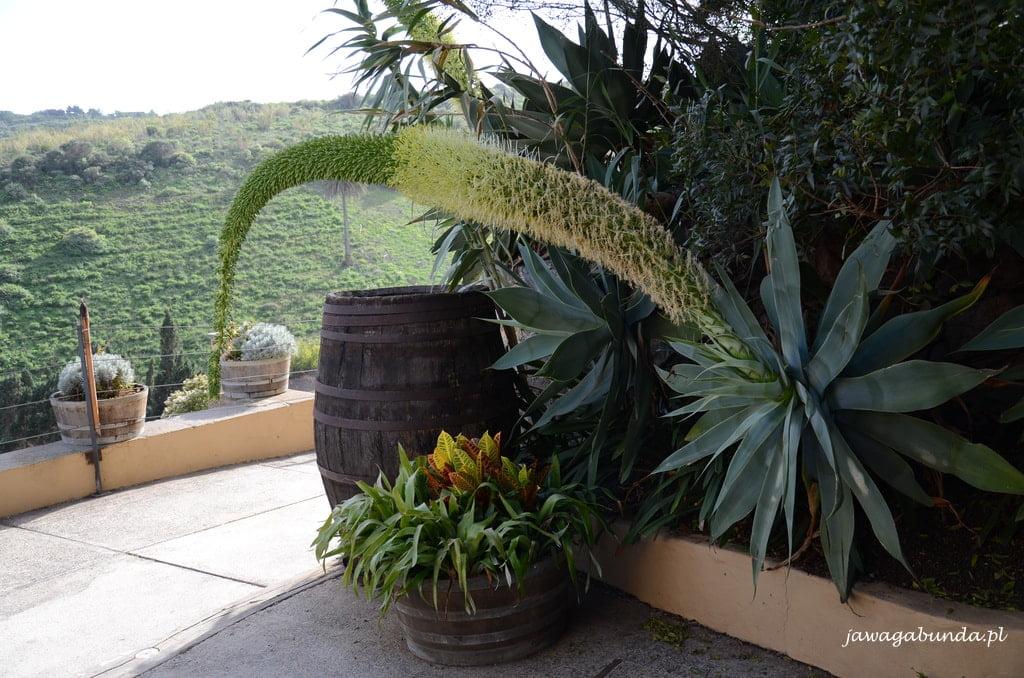 roślina o nazwie koci ogon