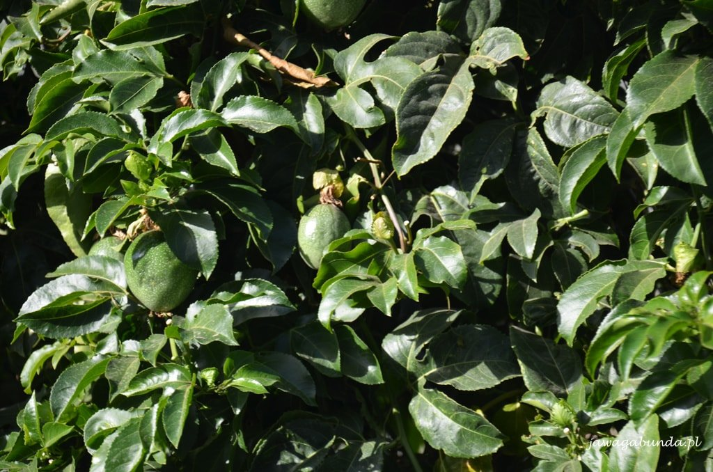 Marakuja rosnąca jako żywopłot