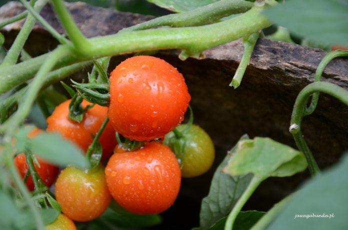 pomidory na gałązce