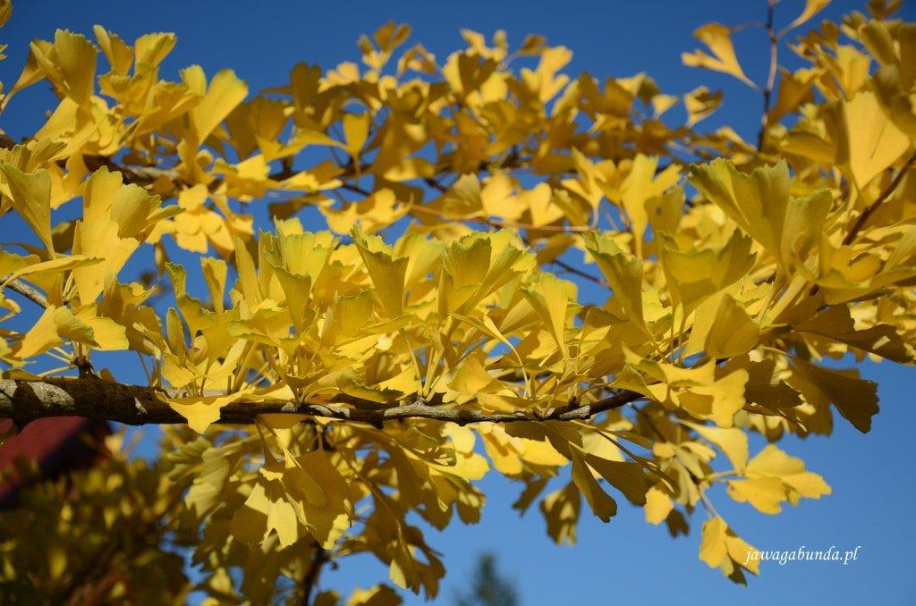 żółty liść Miłorzębu Japońskiegoo