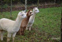 trzy Alpaki
