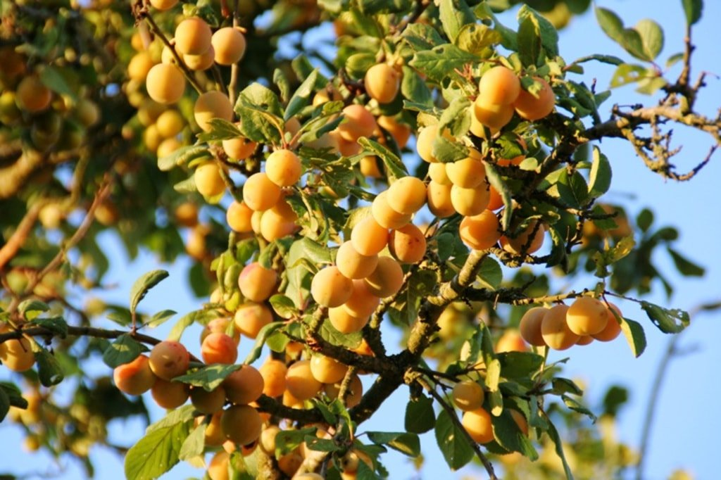 Wiosną zachwyca kwieciem, a jesienią pysznymi, żółtymi owocami