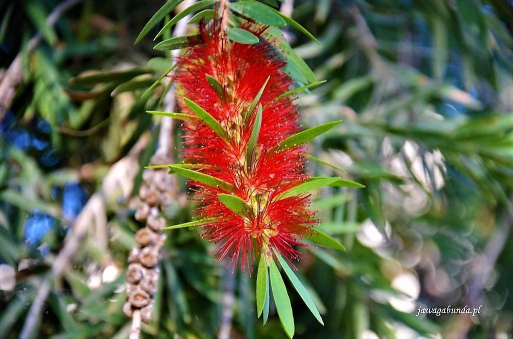 czerwony kwiat przypomina szczotkę