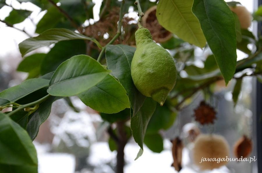 krzak cytryny w donicy i owoc donicy