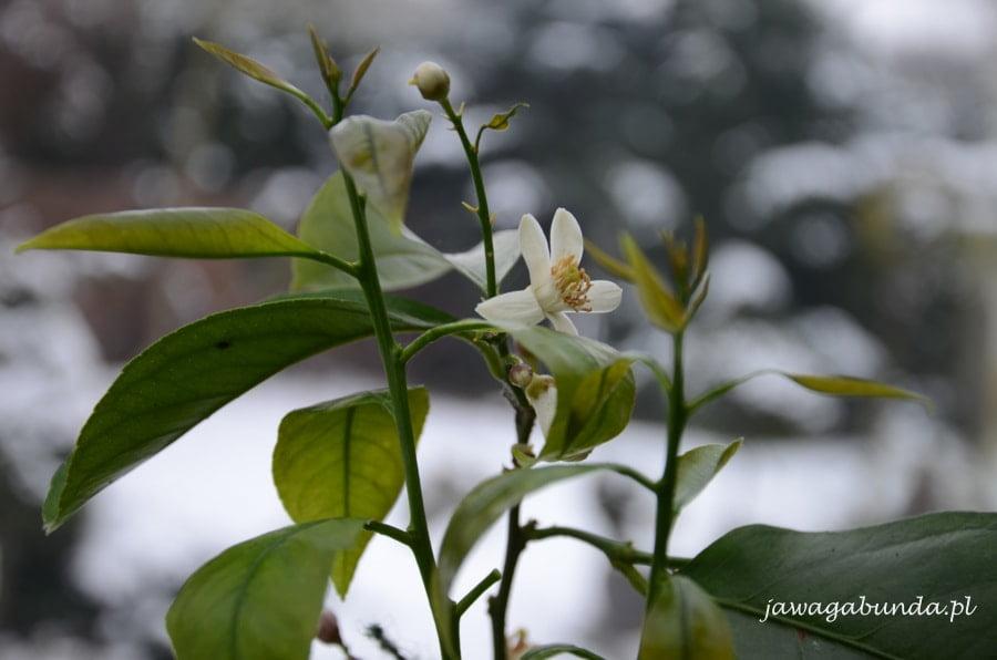 Biały kwiat pomarańczy na krzaku