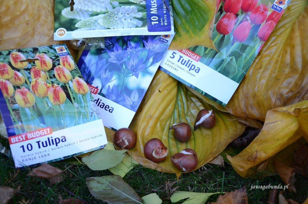 opakowania z wiosennymi cebulami na tle jesiennych funkii