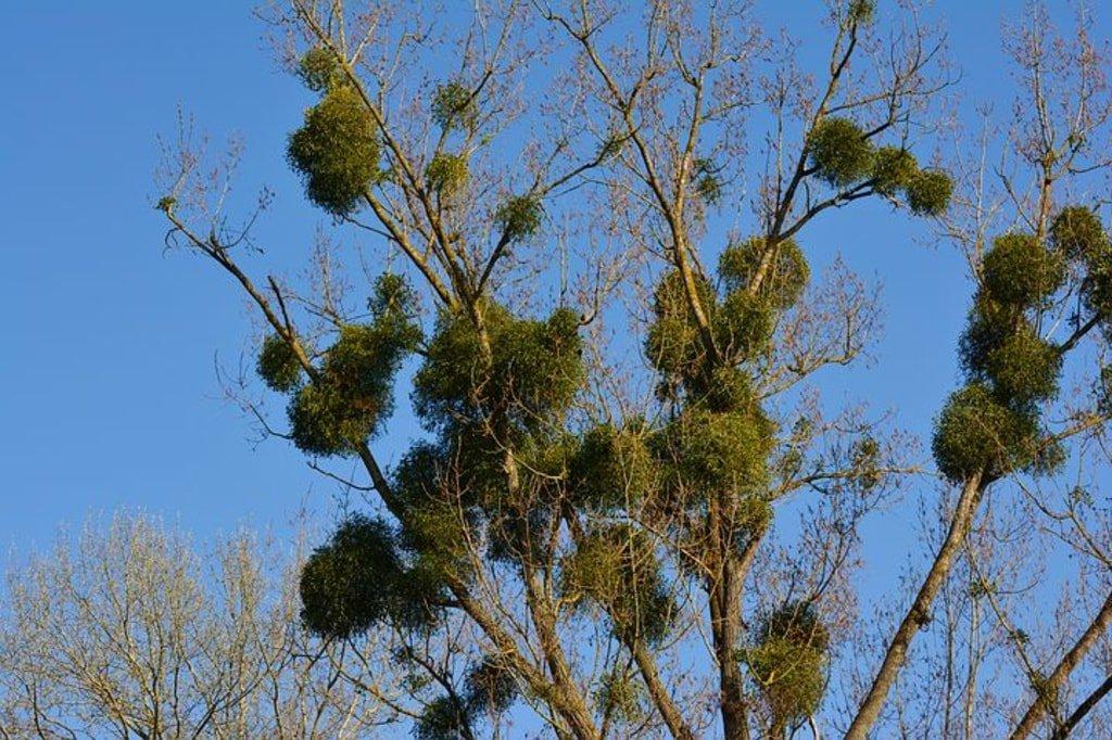 drzewo porośnięte jemiołą