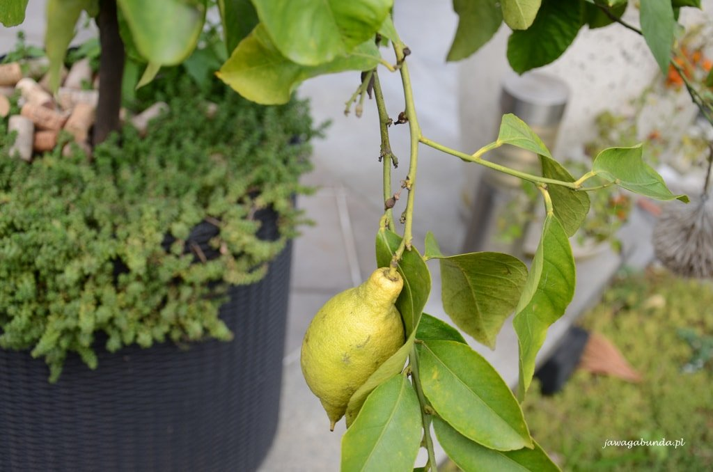 cytryna w donicy uprawa